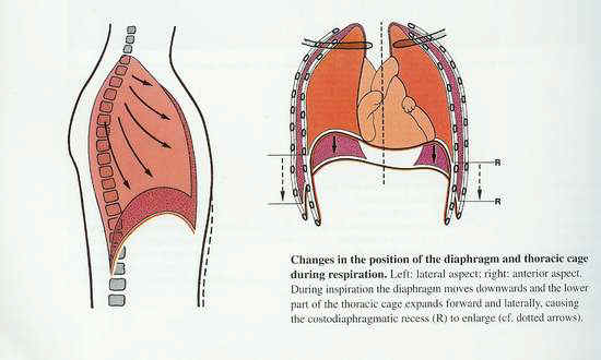 In diaphragmatic breathing, the diaphragm moves down on inhalation, while the ribs expand slightly to the sides.